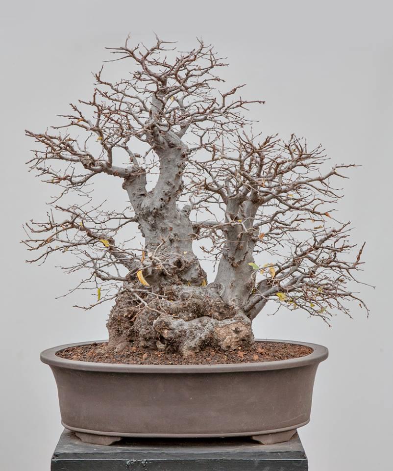 Carpinus orientalis #05