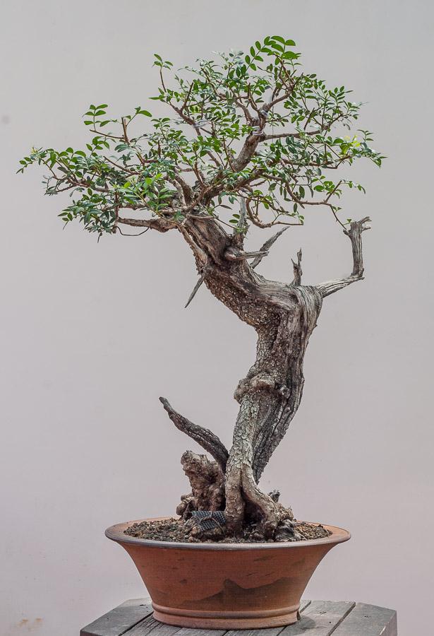 Pistacia lentiscus #03