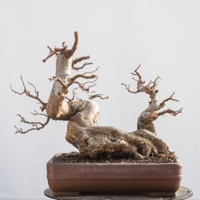 Carpinus-orientalis-02.2011