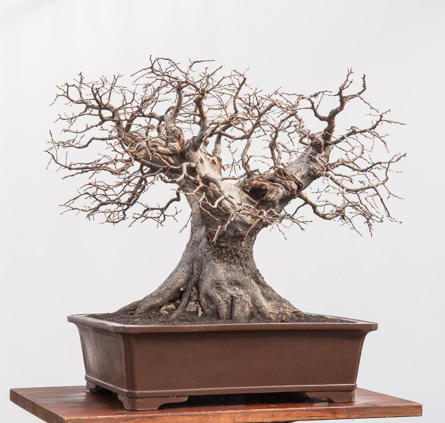 Carpinus orientalis #02