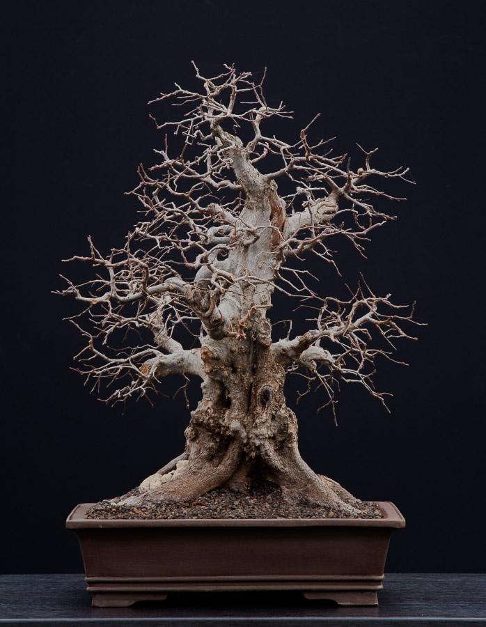 Carpinus orientalis #41