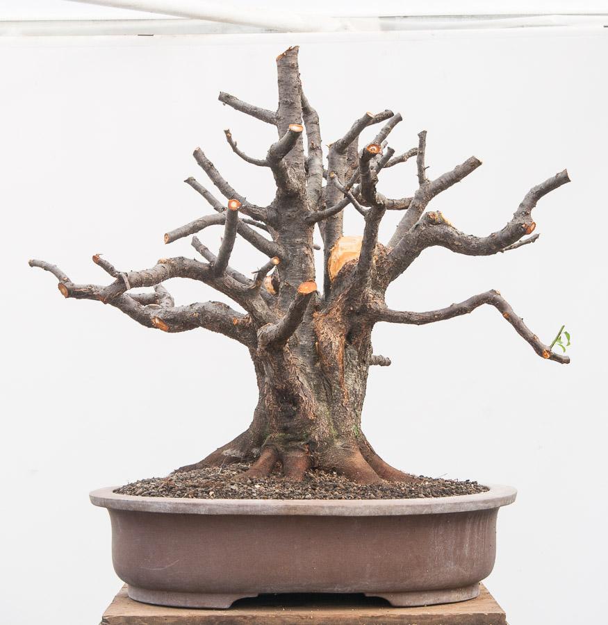Prunus cerasifera #09