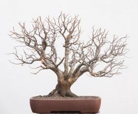 06-Prunus-cerasifera-01.2015