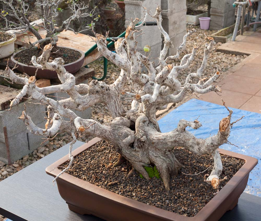 Carpinus orientalis #27