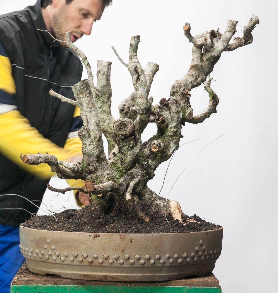 Carpinus orientalis #34