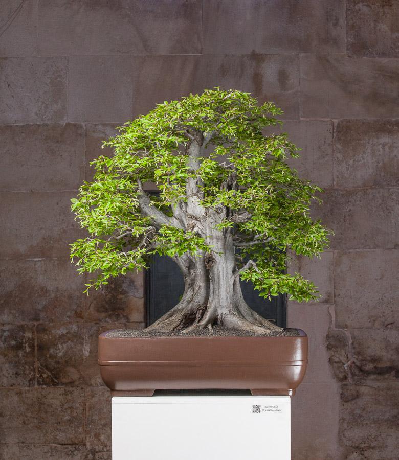 Carpinus orientalis #03